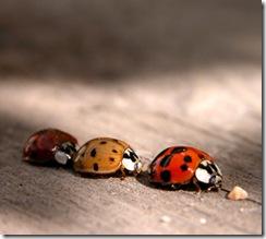 macro-ladybirds-2