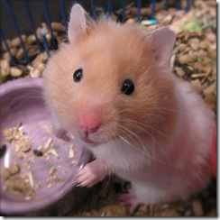 syria the hamster 3