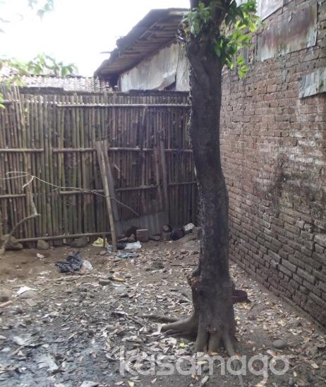 Pohon Buah Kopi Anjing dipekarangan rumah ane, posisinya tepat dipojokan. Serem !